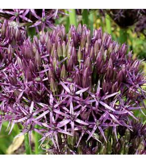 Allium Metallic Shine NUOVO