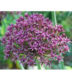 Allium Miami  NUOVO
