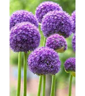 Allium altissimum Goliath...
