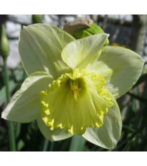 Narciso a tromba Lemon Shake