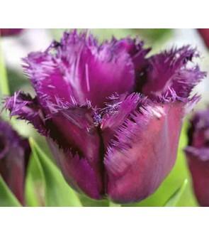 Tulipano crispa Gorilla