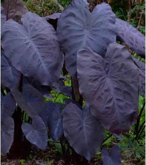 Colocasia esculenta Black...
