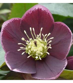 Helleboro orientalis Porpora