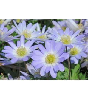 Anemone blanda Blue Splendour