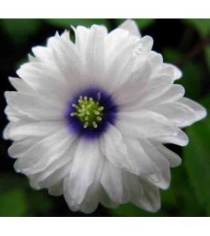 Anemone nemorosa Blue Eyes