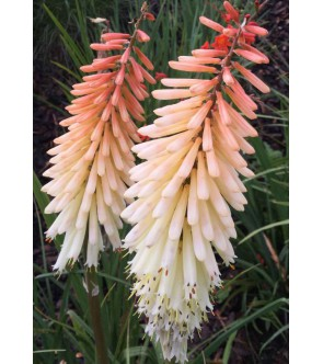 Kniphofia Toff Nosed