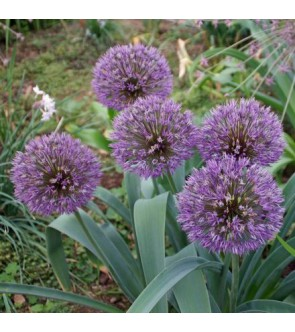 Allium Powder Puff NUOVO