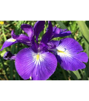 Iris latifolia King of the Blues