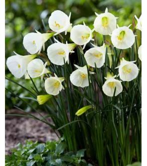 Narciso bulbocodium White...