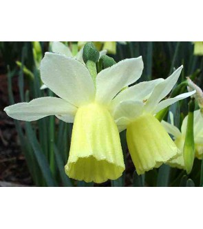 Narciso triandrus Lemon...