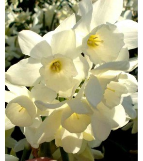Narciso triandrus Starlight...