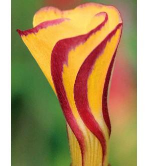Oxalis versicolor Golden...