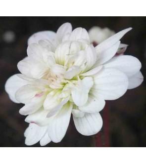 Saxifraga granulata Flore...