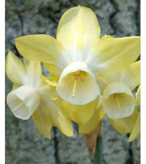 Narciso triandrus Moonlight...