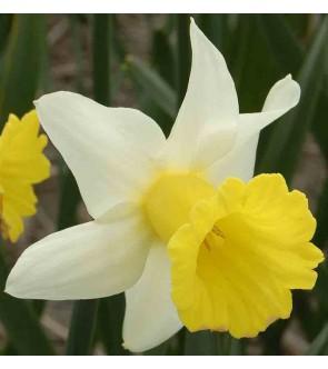 Narciso cyclamineus Peeping...