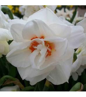 Narciso doppio Acropolis