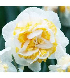 Narciso doppio Double Pam