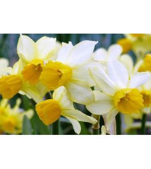 Narciso cyclamineus Spring...