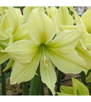 Amaryllis Yellow Star