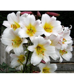 Lilium aurelianum White Planet