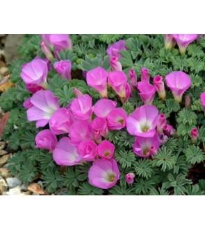 Oxalis versicolor Autumn Pink