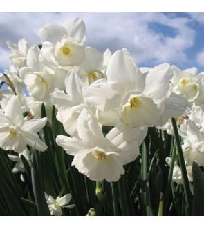 Narciso triandrus Elvin's...