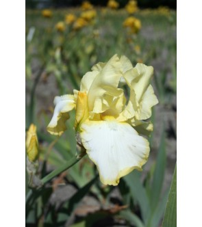 Iris germanica rifiorente...