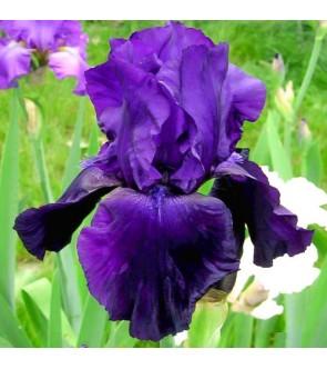 Iris germanica Purple Ritz