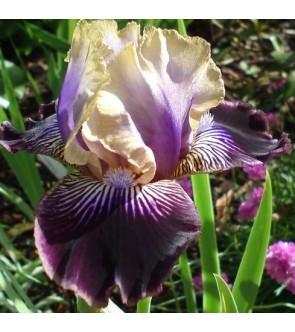 Iris germanica Sculptured Wild
