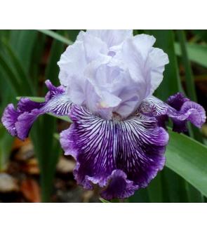 Iris germanica Curacao