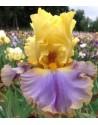 Iris germanica Repertoire