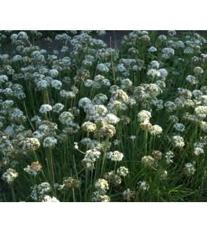 Allium tuberosum White Dwarf