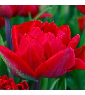 Tulipano doppio Charlton