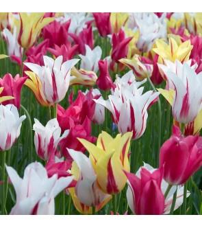 Tulipani Fior di Giglio...