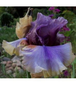 Iris germanica American Maid