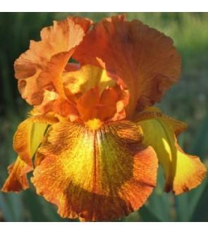 Iris germanica Autumn Echo