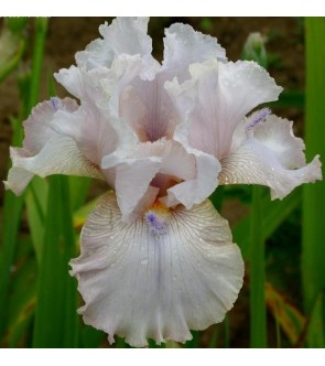 Iris germanica Power Point