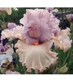 Iris germanica Advance Degree