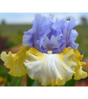 Iris germanica Over and Over