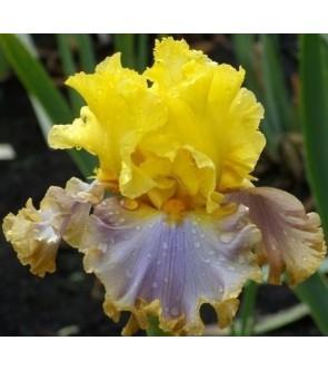 Iris germanica Catwalk Queen