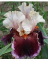 Iris germanica Dance All Dandy