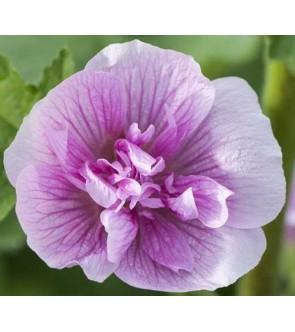 Alcea suffrutescens...