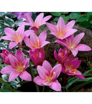 Zephyranthes Robusta (...