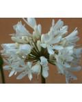 Agapanthus africanus albus...
