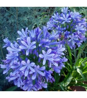 Agapanthus Blue Giant diviso