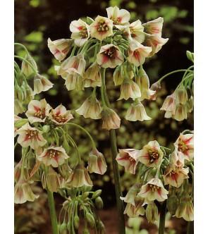 Nectaroscordum siculum ssp...