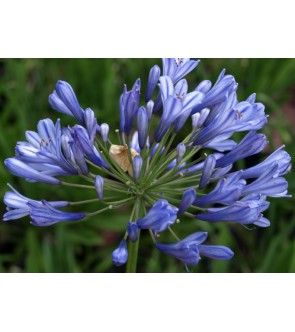 Agapanthus Blue Triumphator...