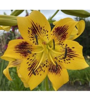 Lilium asiatico Yellow Bruse