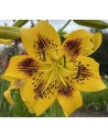 Lilium asiatico Yellow Bruse