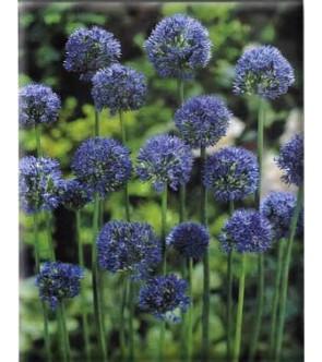 Allium caeruleum sin azureum